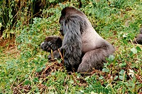 Mountain gorillas Gorilla beringei beringei mating. The mature male leading the troop is known as a silverback due to the colour of the fur on its bac...