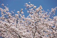 Cherry blossom at Sasayama, Hyogo Prefecture, Japan