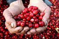 Cranberry harvest. Worker with a handful of freshly_harvested cranberries Vaccinium oxycoccos. Cranberries are grown in sandy fields, but for harvesti...