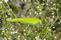 Sickle_bearing bush cricket Phaneroptera falcata on a plant. Photographed in Poland.