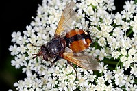 Tachinid fly Tachina fera on a flower head. This species of tachinid fly family Tachinidae is found across Europe as far north as Scandinavia. Photogr...