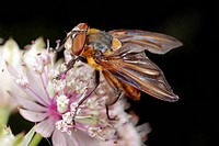 Tachinid fly Phasia hemiptera on a flower. This species of tachinid family Tachinidae is found throughout Northern and Southern Europe. Photographed i...