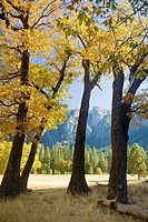Yosemite Valley, Yosemite National Park, California, USA, El Capitan Meadow, black oaks Quercus kelloggii, pines, granite cliffs and spires, November