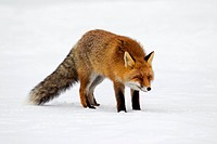 Red fox Vulpes vulpes protected by thick winter coat against the cold hunting in the snow in winter