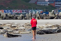 Tourist looking at Grey seals / gray seal Halichoerus grypus resting on beach
