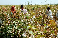 Cotton field , cotton boll burst Gossypium herbaceum worker harvesting , Gujarat , India