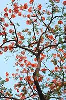 Gulmohar tree ; Bombay Mumbai ; Maharashtra ; India