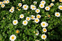 Chrysanthemun alpinum, Ox-eye Daisies Leucanthemum vulgare