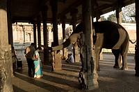 Elephant blessing people at Thiruvannamalai temple ; Tamil Nadu ; India