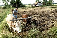 Farmer ploughing land , Chakma tribal , Arunachal Pradesh , India
