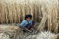 Rural girl harvesting crop , Chitrakoot , Uttar Pradesh , India