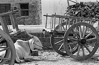 Bullock cart ; Munagoli village ; Bijapur district ; Karnataka ; India