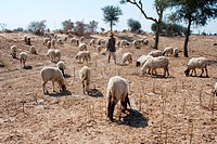 Shepherd looking at sheep engaged in grazing , Ladnun , Rajasthan , India