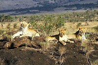 Lioness and cubs sitting on rock Panthera leo