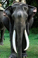 Asiatic Elephant  Elephas maximus  with long ivory tusks from Kaziranga National Park , Assam , India