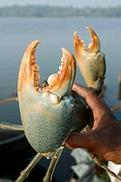 Giant size crab , Cherai backwater , Kerala , India