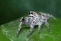 Jumping spider Salticidae. Image taken at Kampung Satau, Sarawak, Malaysia