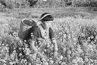 Lady of Mishmi tribe at work in mustard field in Lohit district , Arunachal Pradesh , India NO MR