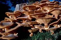 Cluster of Honey fungus (Armillaria mellea or Armillariella mellea), Tricholomataceae.