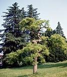 Pagoda tree (Styphnolobium japonicum o Sophora japonica), Fabaceae-Leguminosae.