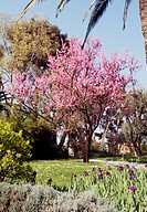 Judas Tree (Cercis siliquastrum), Fabaceae-Leguminosae.