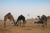 Camels feeding in Pushkar fair , Pushkar , Rajasthan , India