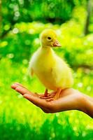 gosling in hand