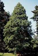 Dawn Redwood (Metasequoia glyptostroboides), Cupressaceae-Tassodiaceae.