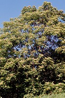 Tree of Heaven or Ailanthus (Ailanthus altissima), Simaroubaceae.