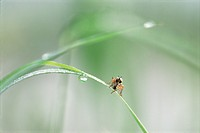 Close up of an Grass Fly, Chloropidae, perched on a blade of grass