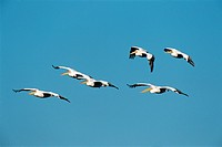 White Pelicans Flying