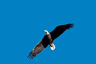 Low angle view of a Bald Eagle, Haliaeetus leucocephalus, flying