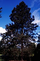 Ponderosa Pine (Pinus ponderosa), Pinaceae.
