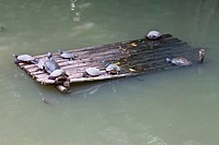 Turtles lying on the bamboo raft