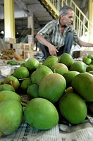 Fruits , worker sorting raw alphonso mangoes