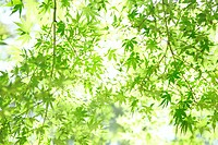 Green leaves of maple tree