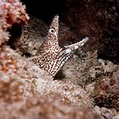 Spotted Moray Gymnothorax moringa