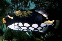 Clown Triggerfish (Balistoides conspicillum), Balistidae.
