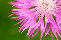 Brownray knapweed Centaurea jacea