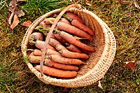 Carrots in a basket outdoor