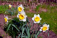 Daffodils narcissus flower bloom yellow color
