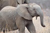Elephant calf, Loxodonta africana, Kruger National Park, South Africa