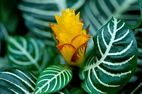 Yellow Croton Flower