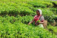 Woman plucking leaves from tea garden , Assam , India NOMR