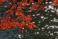 Maple leaves at Kitako Lake, Saitama Prefecture