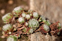 Sempervivum Arachnoideums Spinnenweben_Hauswurz