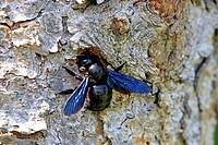 Violet Carpenter Bee, Xylocopa violacea, Ellerstadt, Germany, Europe, at nest