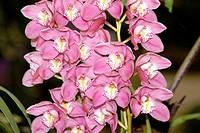 Orchid variety pendulous dendrobium ; Gangtok ; Sikkim ; India