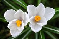 White spring crocus