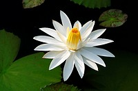 White lily in pond , Jodhpur , Rajasthan , India